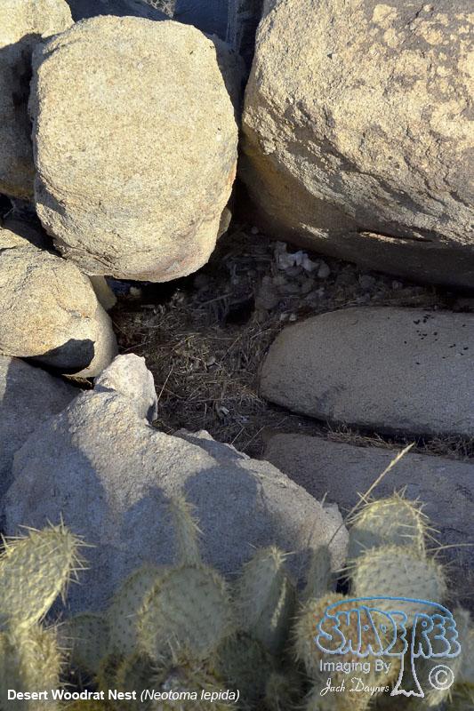 Desert Woodrat Nest - Neotoma lepida