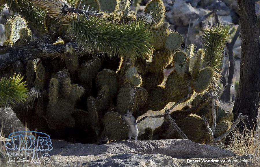 Desert Woodrat - Neotoma lepida