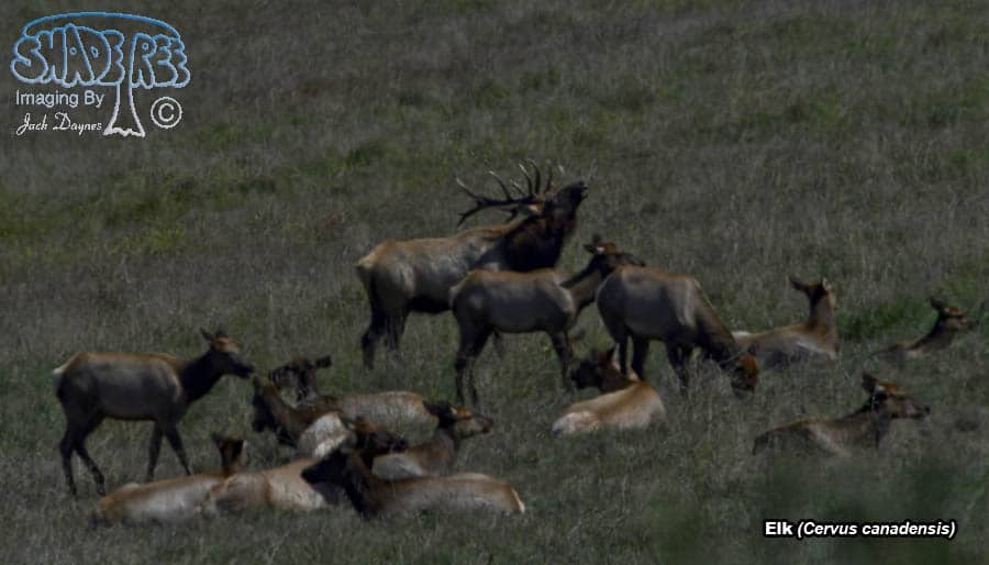 Elk - Cervus canadensis