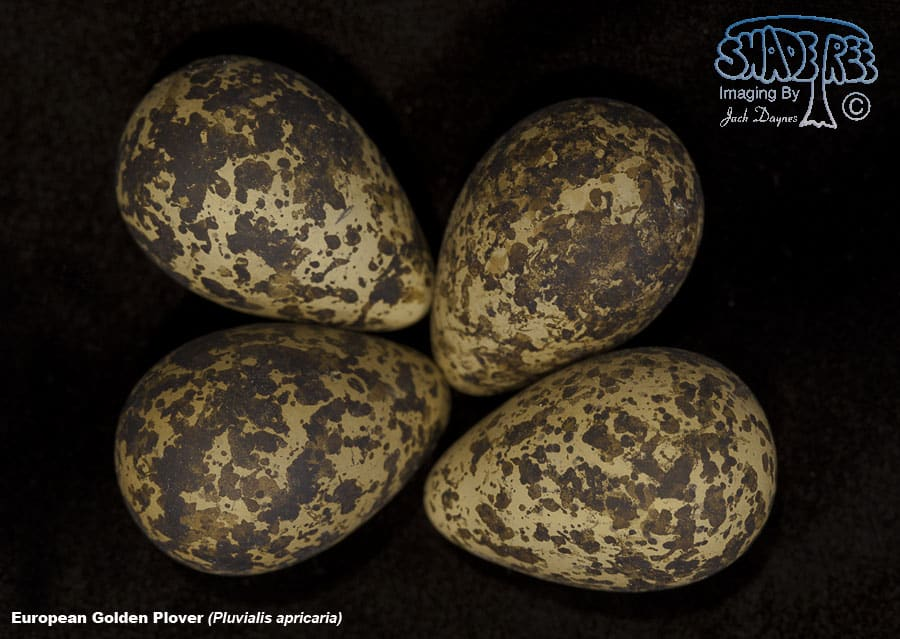 European Golden Plover - Pluvialis apricaria