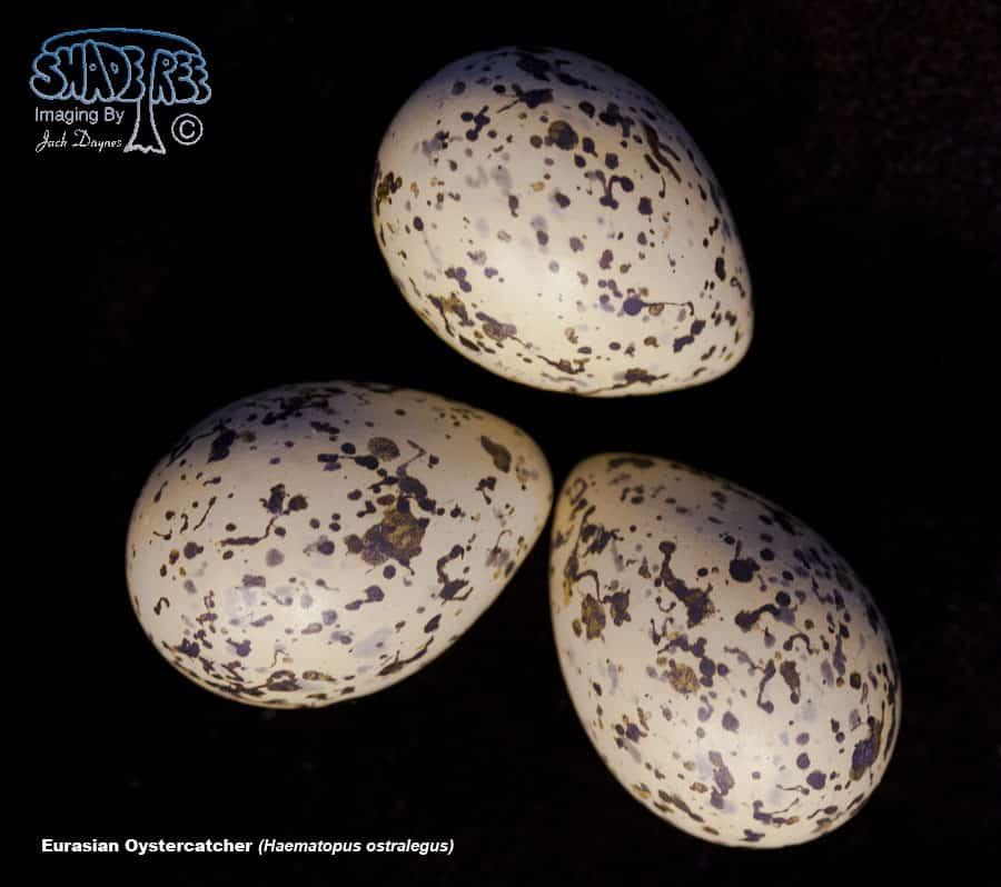 Eurasian Oystercatcher - Haematopus ostralegus