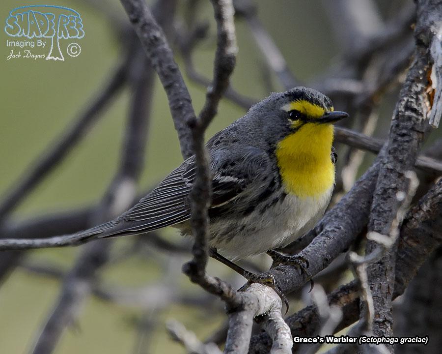 Grace's Warbler - Setophaga graciae