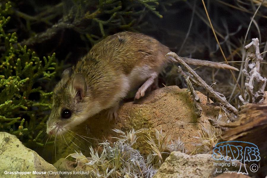 Grasshopper Mouse - Onychomys torridus