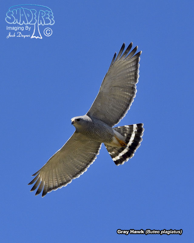 Gray Hawk - Buteo plagiatus
