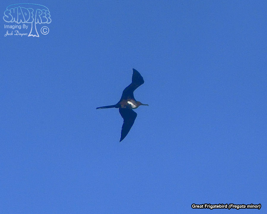 Great Frigatebird - Fregata minor
