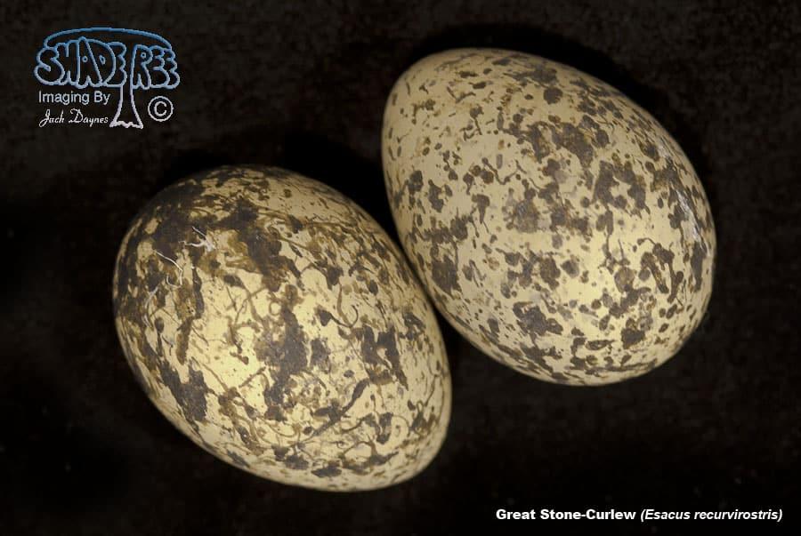 Great Stone-Curlew - Esacus recurvirostris