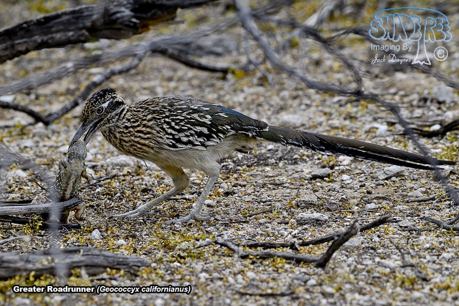 Greater Roadrunner - Geococcyx californianus