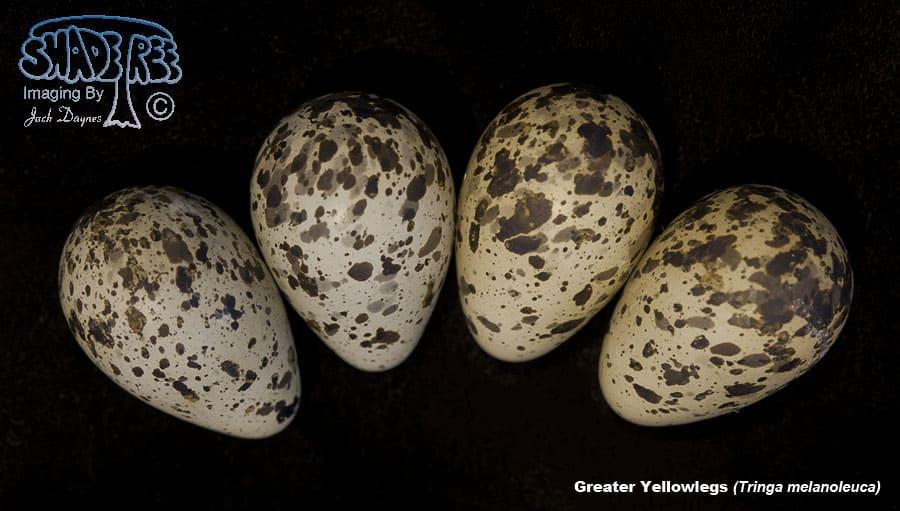 Greater Yellowlegs - Tringa melanoleuca