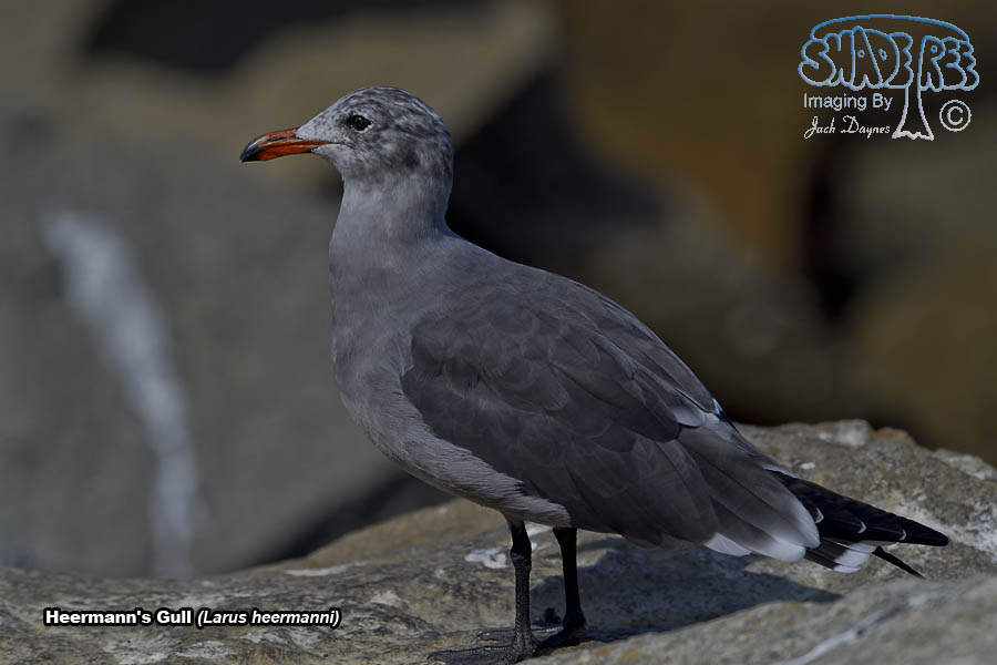 Heermann's Gull - Larus heermanni