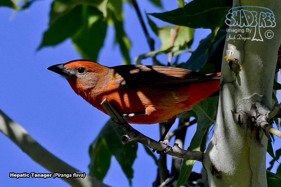 Hepatic Tanager - Piranga flava