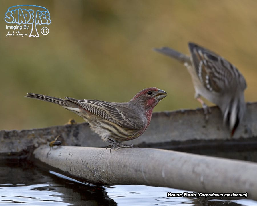House Finch - Carpodacus mexicanus