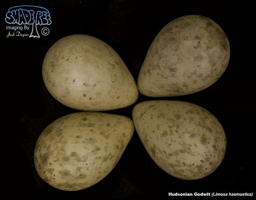 Hudsonian Godwit - Limosa haemastica