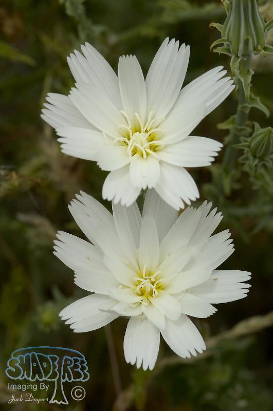 Desert Chicory - Rafinesquia neomexicana