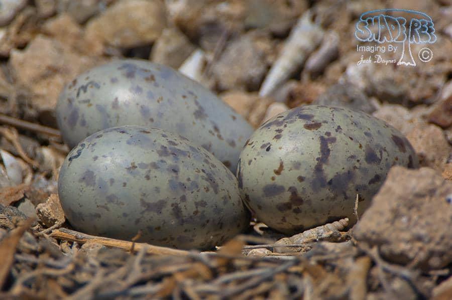 Gull-billed Tern Nest - Gelochelidon nilotica