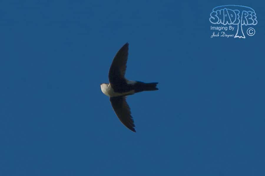 White-throated Swift - Aeronautes saxatalis