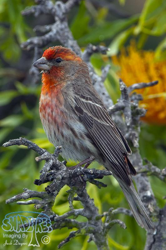 House Finch - Carpodacus mexicanus