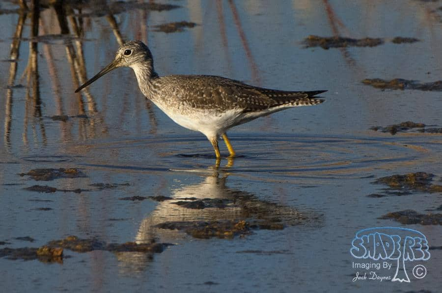 Greater Yellowlegs - Tringa melanoleuca