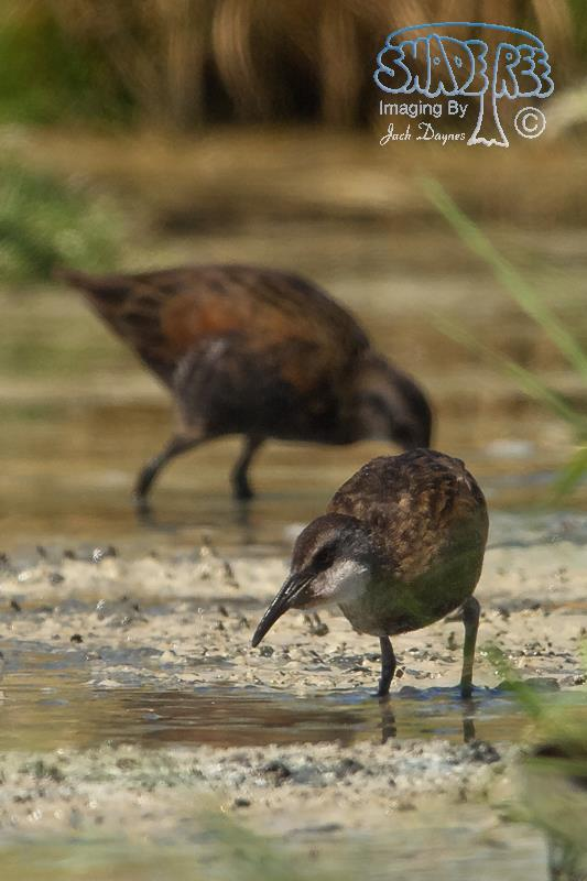 Virginia Rail - Rallus limicola