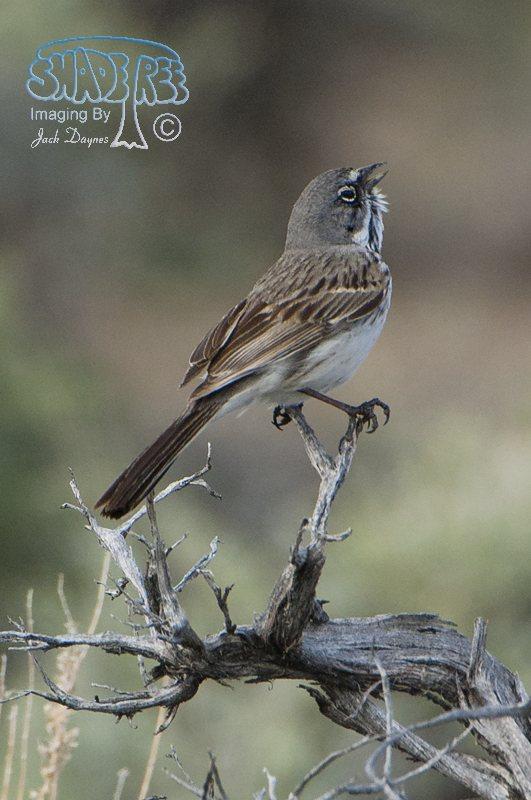 Sagebrush Sparrow - Artemisiospiza nevadensis