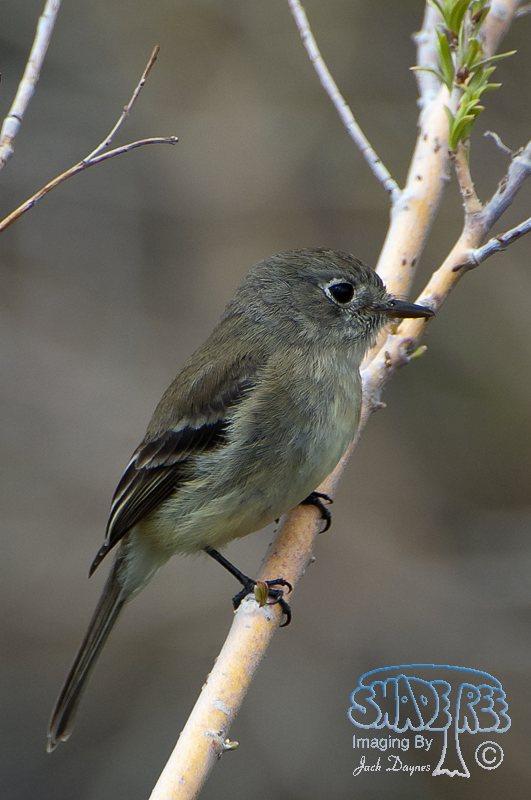 Hammond's Flycatcher - Empidonax hammondii