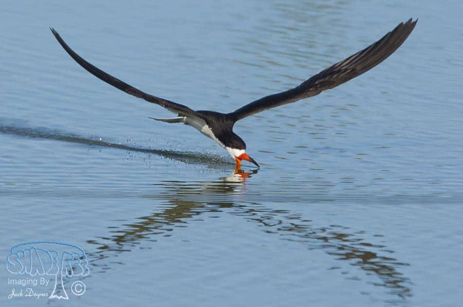 Black Skimmer - Rynchops niger