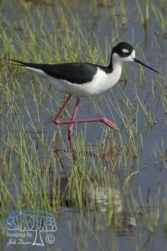 Black-necked Stilt - Himantopus mexicanus