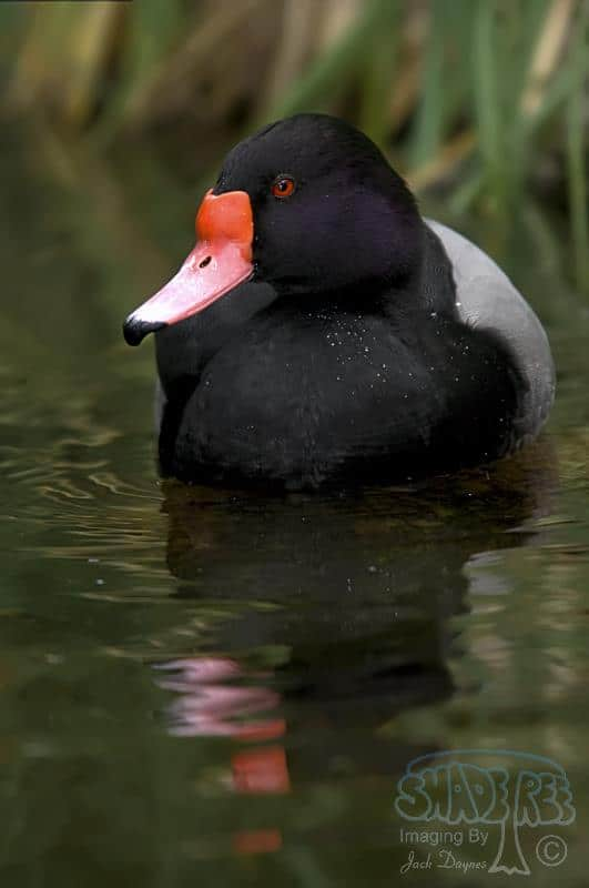 Rosy-billed Pochard - Netta peposaca