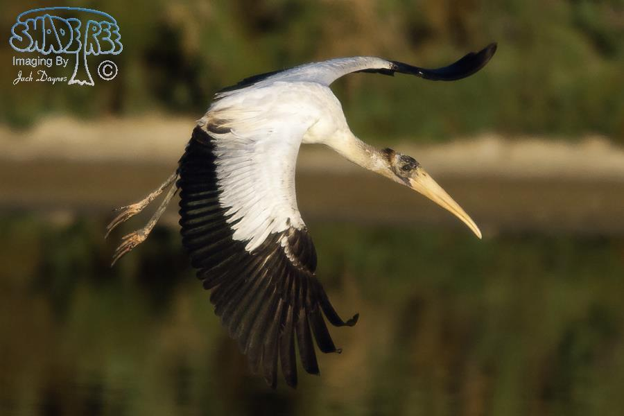 Wood Stork - Mycteria americana