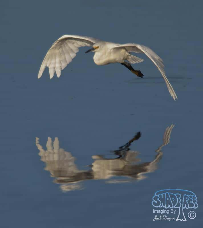 Snowy Egret - Egretta thula
