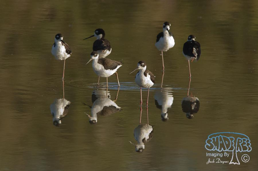 Black-Necked Stilt - Himantopus mexicanus