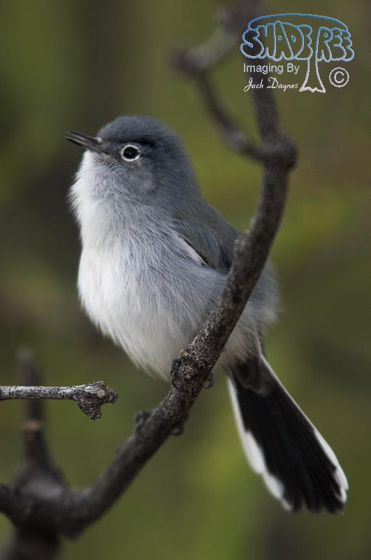 Black-Tailed Gnatcatcher - Polioptila melanura