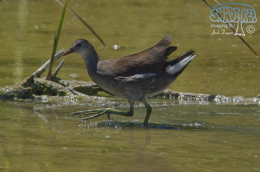 Common Gallinule - Gallinula chloropus