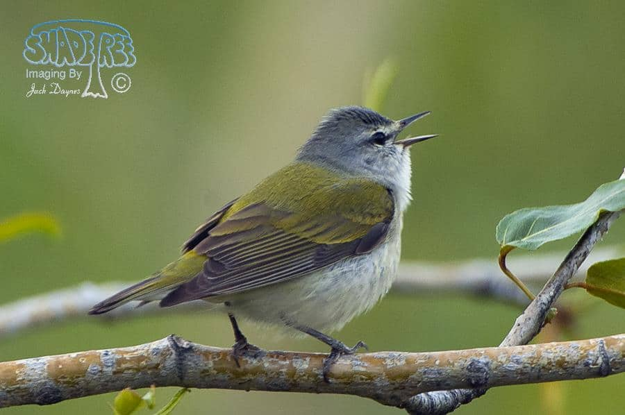 Tennessee Warbler - Vermivora peregrina