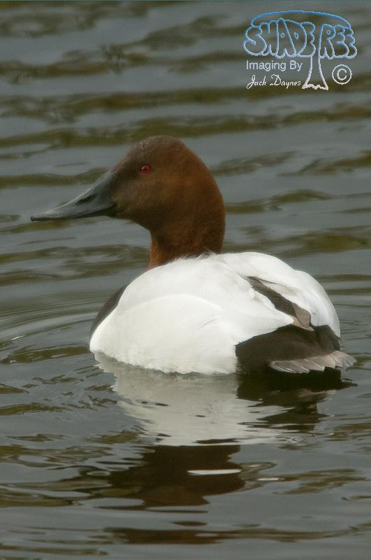 Canvasback - Aythya valisineria