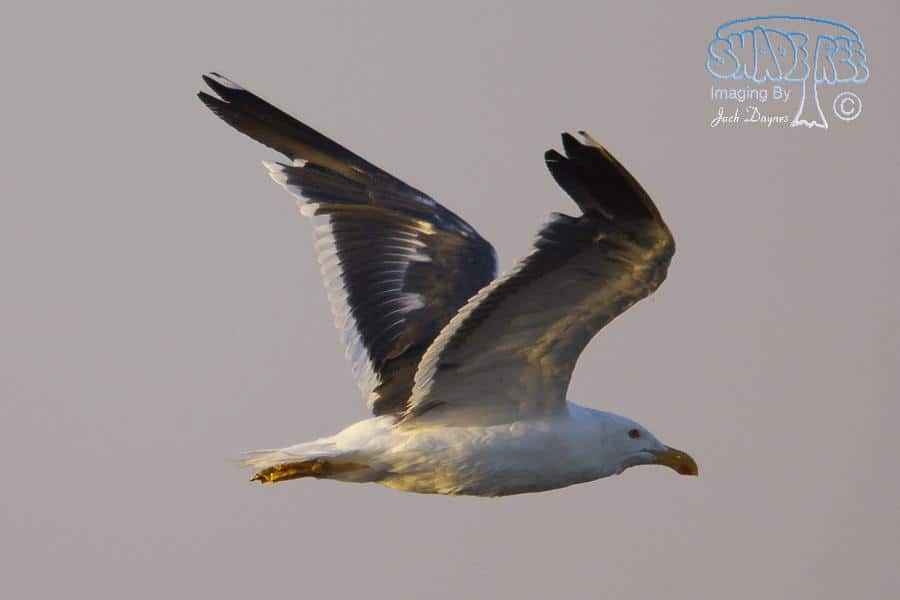 Yellow-footed Gull - Larus livens