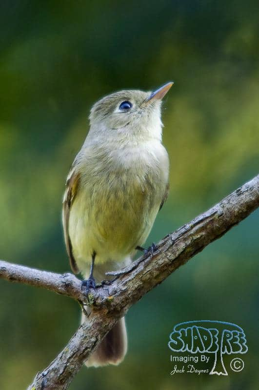 Pacific-slope Flycatcher - Empidonax difficilis
