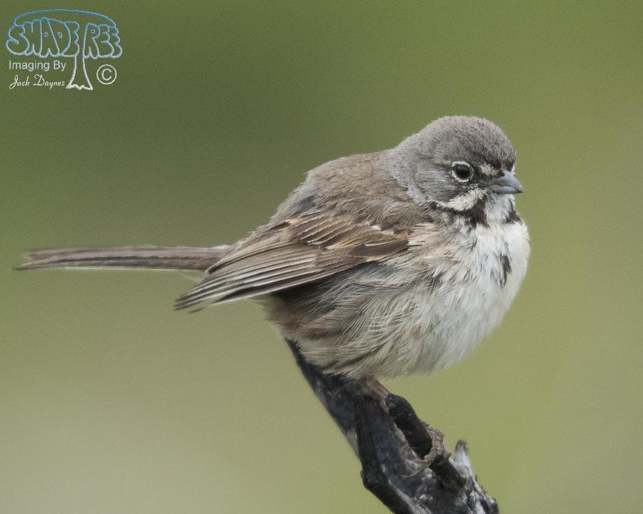 Sage Sparrow - Amphispiza belli