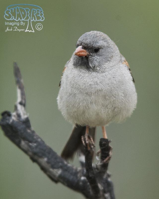 Black-Chinned Sparrow - Spizella atrogularis