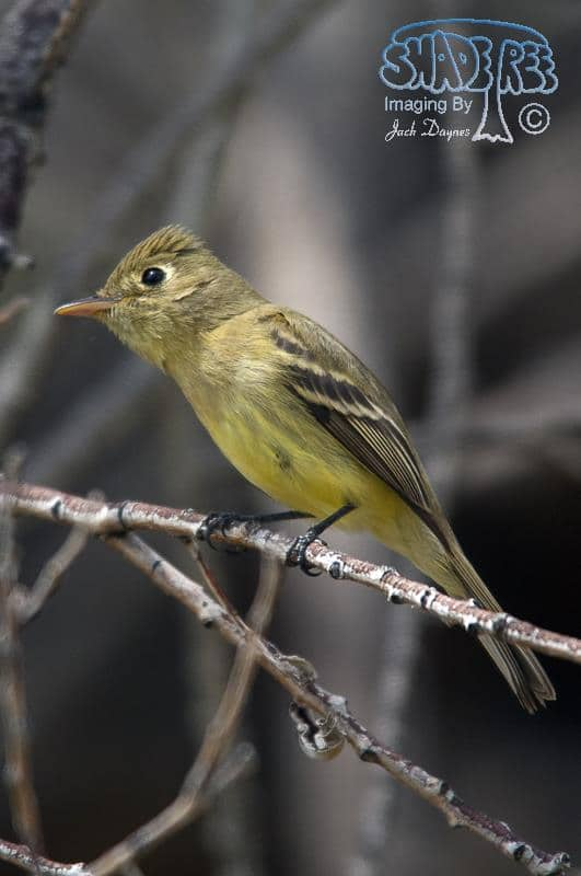 Pacific-slope Flycatcher - Myiarchus cinerascens