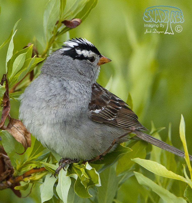 White-Crowned Sparrow - Spizella arborea