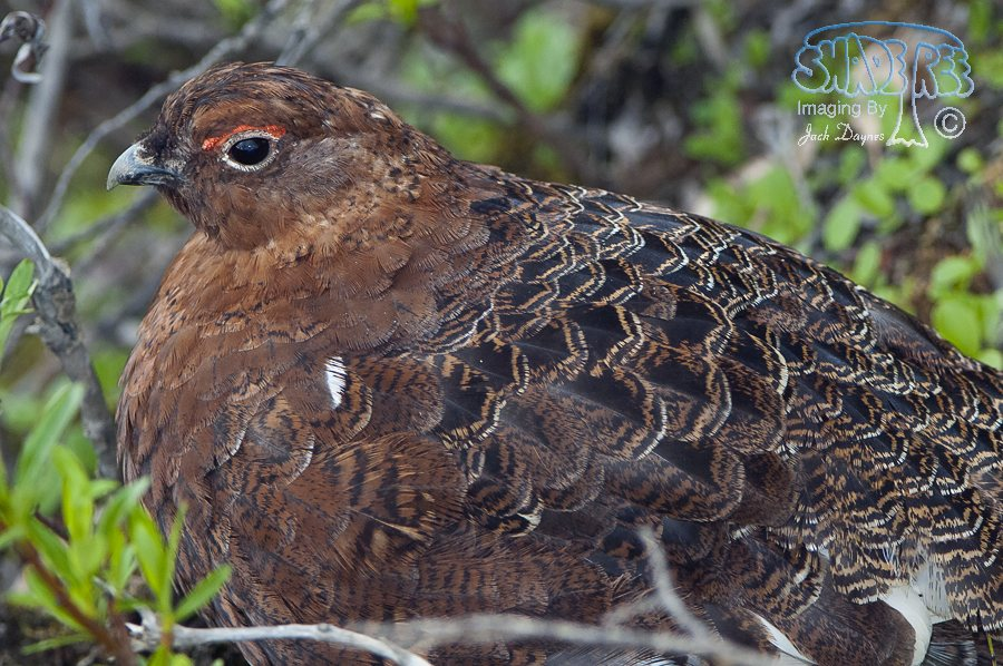 Willow Ptarmigan - Lagopus lagopus