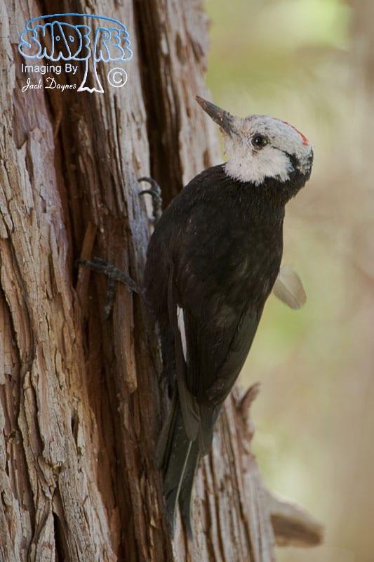 White-Headed Woodpecker - Picoides albolarvatus