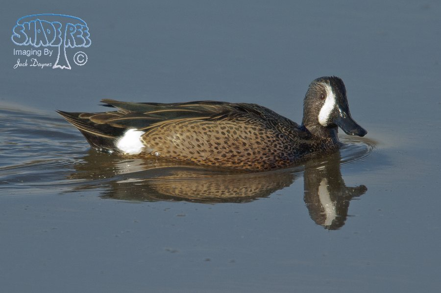 Blue-Winged Teal - Spatula discors