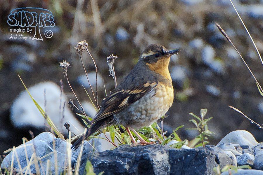Varied Thrush - Zoothera naevia