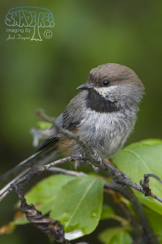 Boreal Chickadee - Poecile hudsonicus