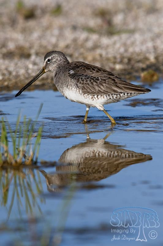 Long-billed Dowitcher - Pluvialis squatarola