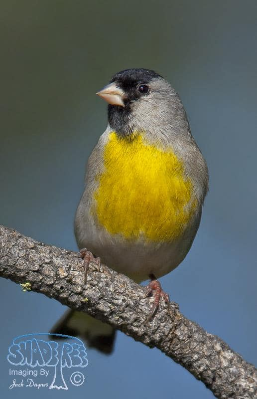 Lawrence's Goldfinch - Carduelis lawrencei