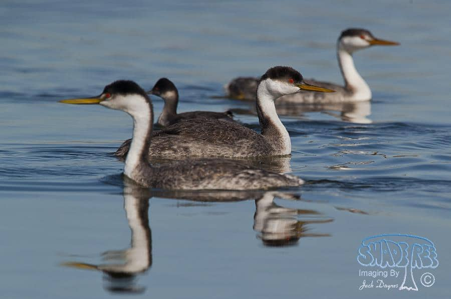 Western Grebe - Aechmophorus occidentalis