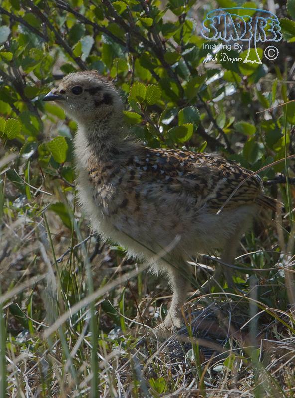 Willow Ptarmigan - Lagopus lagopus