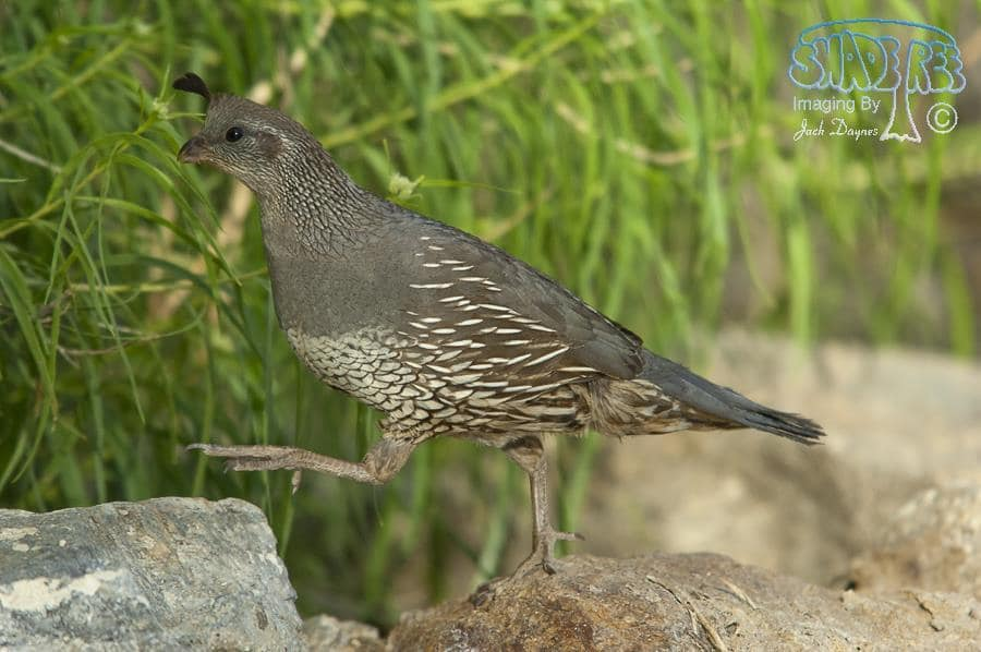 California Quail - Callipepla californica